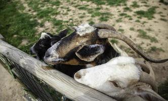cabras en la granja foto