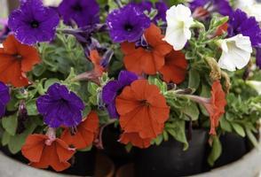 flores de campana de colores foto