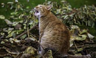 Angry tabby cat photo