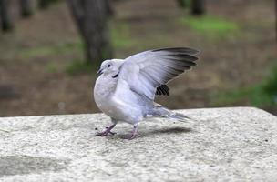Pigeons on street photo
