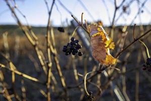 Vineyards with grapes photo
