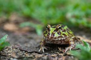 Closeup Argentine horned frog on the ground photo