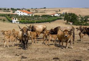 Herd of Mirandesa breed cows in Portugal photo