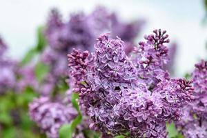 Fotografía abstracta de primer plano de enfoque selectivo. flores de color lila en el jardín. foto