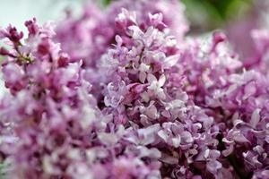 Selective focus close-up abstract photography. Lilac blooms in the garden. photo