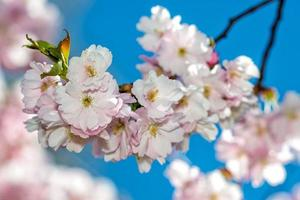 Selective focus close-up photography. Beautiful cherry blossom sakura in spring time over blue sky. photo