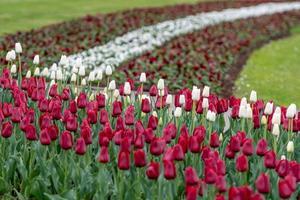City Riga, Latvia Republic. Latvian flag from tulips, red and white. - image photo