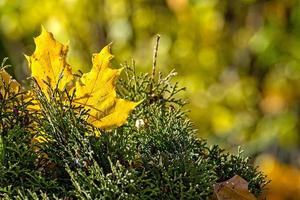 Lonely colorful maple leaf lying on a moss. Autumn concept - image photo