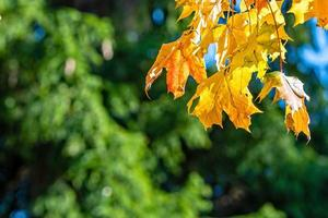 Autumnal maple leaves in blurred background, foliage, sunlight - image photo