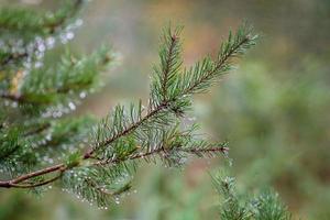 rama de un árbol conífero con gotas de lluvia. foto