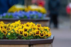 Viola yellow and brown pansy flower or yellow violets - Image photo