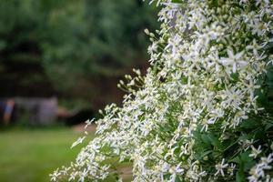 Fotografía de enfoque selectivo. fondo de la naturaleza. arbusto con flores blancas. foto