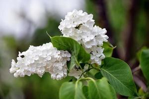 White flowers in the garden photo