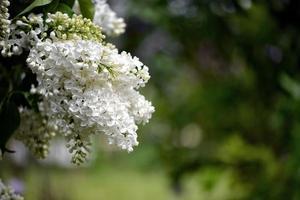flores blancas en el jardin foto