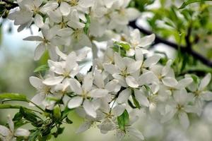 Beautiful white flowers in the garden photo