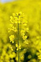 Beautiful yellow flowers, blooming rapeseed field photo