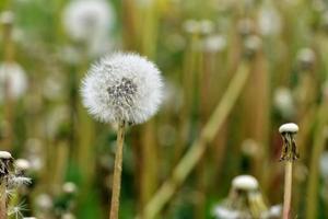 Dandelion on the field photo