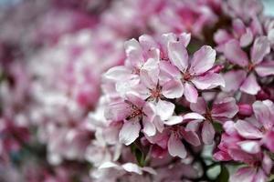 Beautiful pink flowers blooming photo