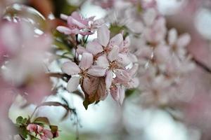 Beautiful apple flowers blooming photo