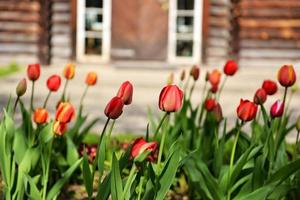 Tulips blooming in a garden photo