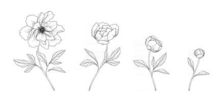 Ilustración floral de peonía dibujada a mano. vector