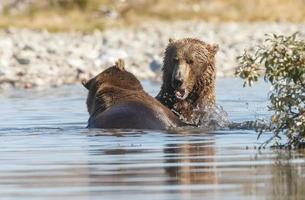 Grizzle bear in nature of Alaska photo