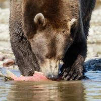 Grizzly bear in the nature of Alaska photo