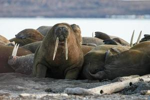 Walrus at the north of the world at Spitsbergen. photo