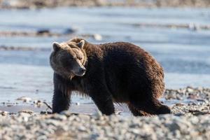 oso grizzly en la naturaleza de alaska foto