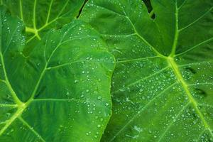 Green leaves texture background with rain water drops photo
