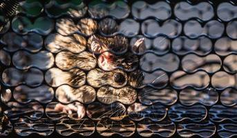A rat trapped in a cage that is a mousetrap. photo