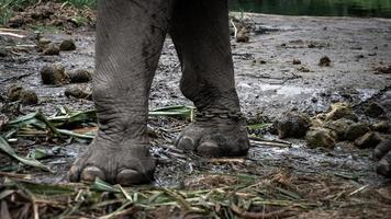Primer plano de las piernas de un elefante encadenado en un campamento de elefantes. foto