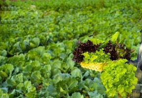 el granjero sostiene el roble rojo verde vegetal foto