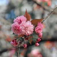 hermosas flores de color rosa en primavera foto