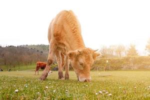 Hermoso retrato de vaca marrón en el prado foto