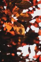 red tree leaves in the nature in autumn season, red background photo