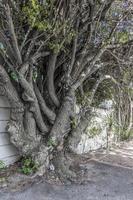 gran árbol africano único y de tallo múltiple en ciudad del cabo. foto