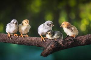 Group of cute chicks on the branches of the tree photo