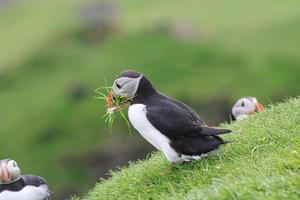 Frailecillo con hierba en mykines en las Islas Feroe foto