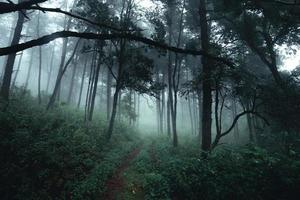 Trees in the fog,wilderness landscape forest with pine trees photo