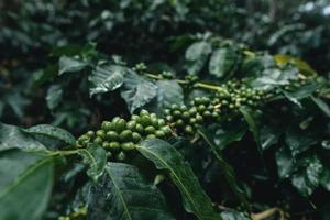 coffee plantation in tropical forest photo