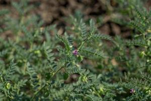vaina de garbanzos con plantas jóvenes verdes en el campo agrícola, primer plano. foto