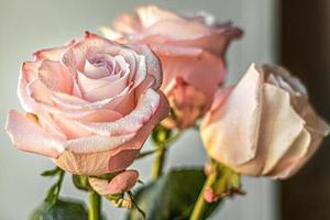 A bouquet of pink rose flowers. The concept of Valentine's day, birthday, International Women's Day. Design of holidays. photo