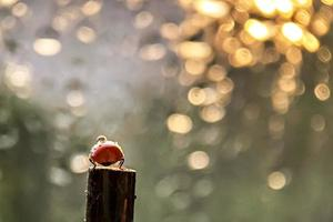 A red ladybug crawls on a stick towards the sun's sunset rays. Bokeh. Macrophotography. After rain photo
