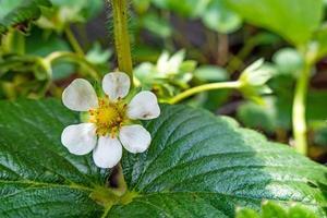 Plántulas de fresa en macetas pequeñas para hobby. foto