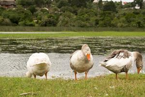 Gooses Near the Water photo