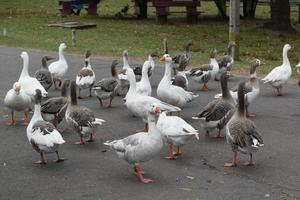 Geese near the water photo