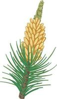 Pinecone with pine needles isolated vector
