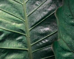 Foliage anthurium plant. Natural leaves with moody dark green color and water droplets texture abstract background. Focus on background. Nature, organic, green theme, or Earth day backdrop concept. photo