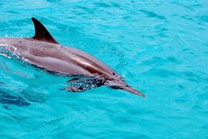 Dolphins swimming near the waters surface photo